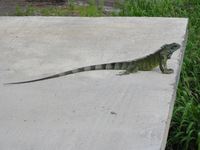 Iguanasaurus Rex